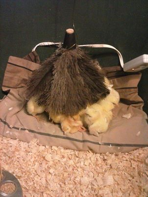 """Using an old feather duster as a surrogate """"mom"""" in the brooder pen."""