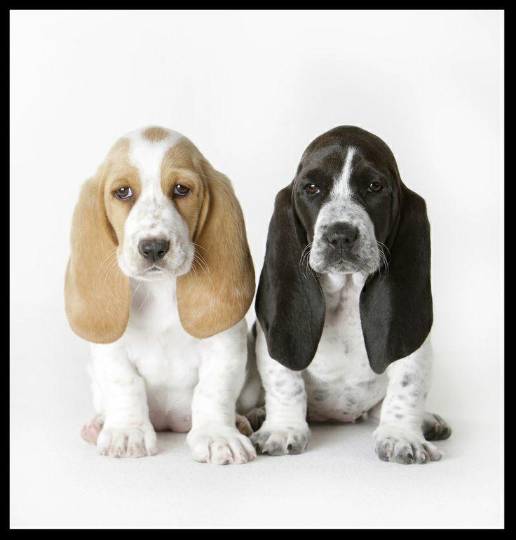 Park Art|My WordPress Blog_Miniature Basset Hound Puppies For Sale In Ohio