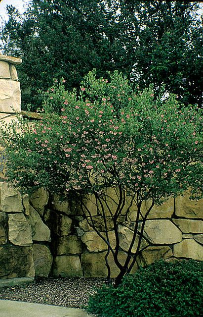 Manzanita Arctostaphylos 'Sentinel' - drought tolerant, sun-loving and evergreen.  An option for replacing Japanese maples