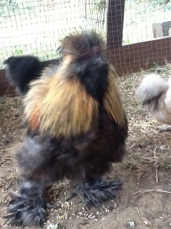 roosters for sale in minnesota small | For Sale: Silkie partridge Rooster
