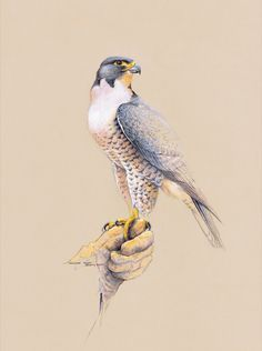 Peregrine Falcon by Jeremy Boot (b.1948)
