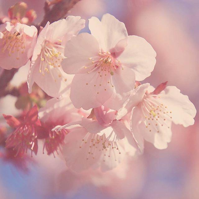 【bay_victory】さんのInstagramをピンしています。 《 . おはようございます . 今日は雪降るみたいですね⛄❄ . でも神奈川は積もる事は、なさそうだから良かった〜❄ . 今日も1日頑張ります♪p(・ー・。)q . #静岡県  #熱海  #あたみ桜  #桜  #花  #flower  #はなまっぷ  #ip_blossoms  #eye_spy_flora  #wp_flower  #wp_まっぷ花まつり  #flower_special_  #team_jp_  #team_jp_flower  #loves_nippon  #beautiful  #wp_japan  #wu_japan  #ig_japan  #icu_japan  #bestjapanpics  #tokyocameraclub  #japan_of_insta  #japan_daytime_view  #japan_photo_now  #ファインダー越しの私の世界  #写真好きな人と繋がりたい  #写真撮ってる人と繋がりたい  #一眼レフ初心者  #canoneos80d》