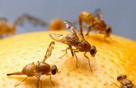 Last van fruitvliegjes? Vul een schaaltje met azijn en voeg daar een druppel vloeibare zeep aan toe,zet het op een plek waar u er geen last van hebt,de fruitvliegjes komen op de azijn af in plaats van op het verse fruit,aan het einde van de dag is er geen fruitvlieg meer te bekennen.
