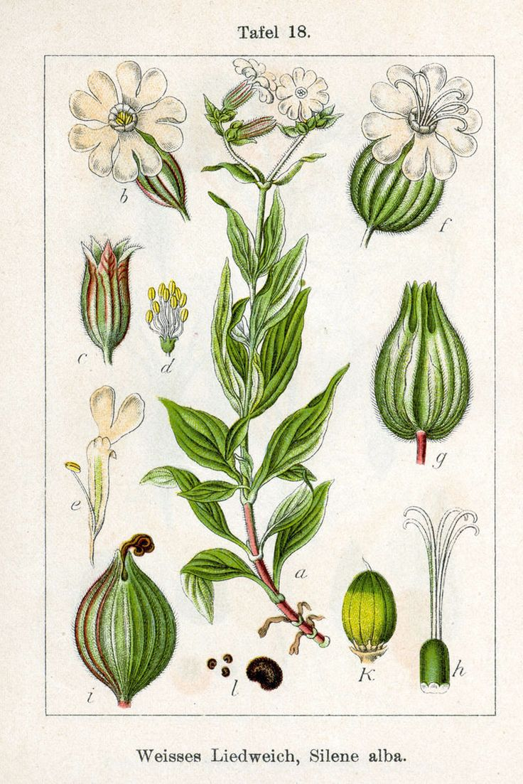 Compagnon blanc (Silene latifolia) CARYOPHILLACEAE