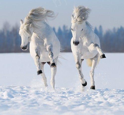 Fehér lovak hóban  ♥