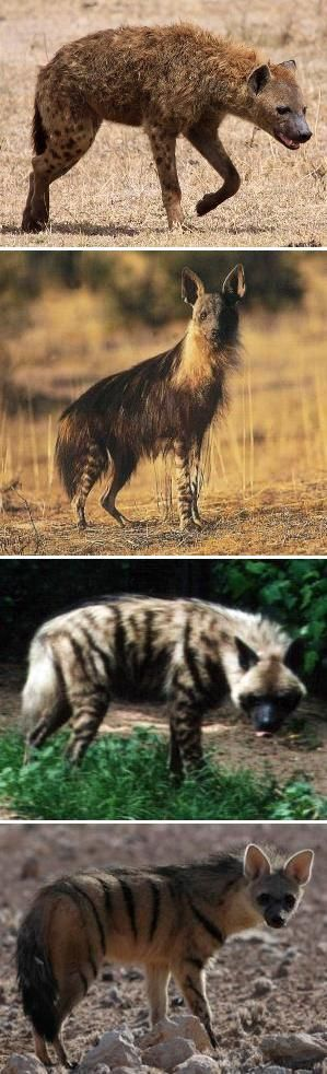 "Hyaenidae - All four extant species of Hyenas - Wikipedia - (from top) Spotted ""Laughing"" Hyena, Brown Hyena, Striped Hyena and Aardwolf"