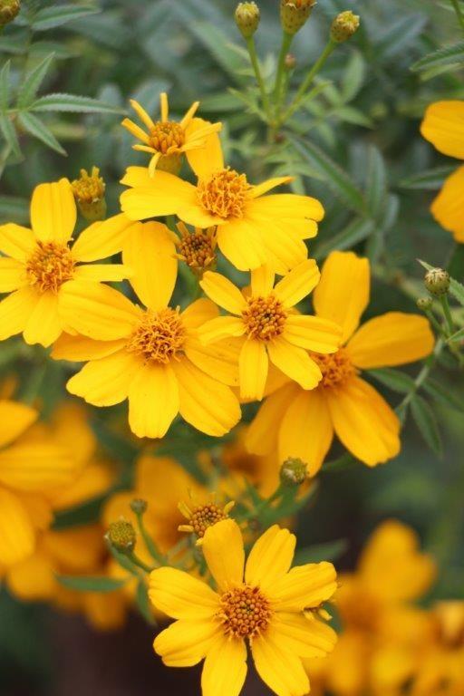 Tree marigold flowers