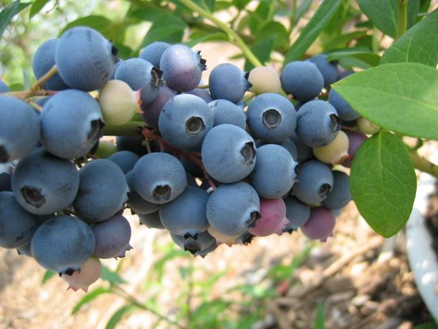 Southern Highbush Blueberry Sharpblue http://berryslife.com