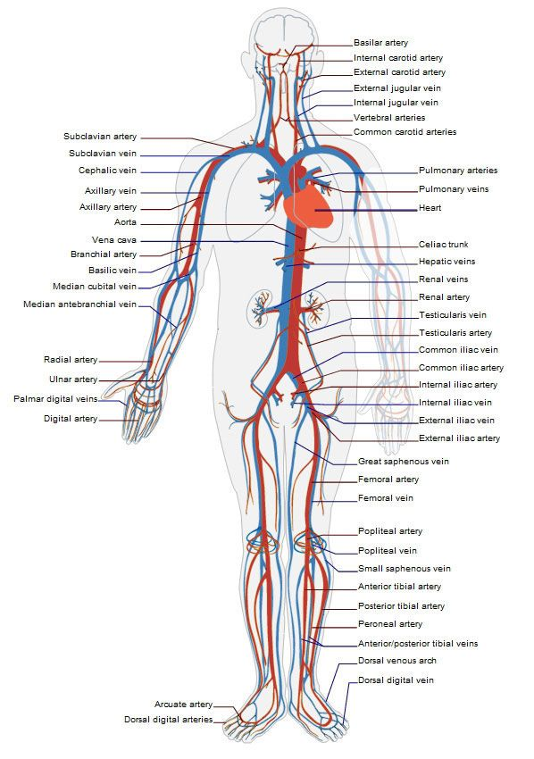 24 best arteries & veins images on Pinterest | Anatomy, Human body ...