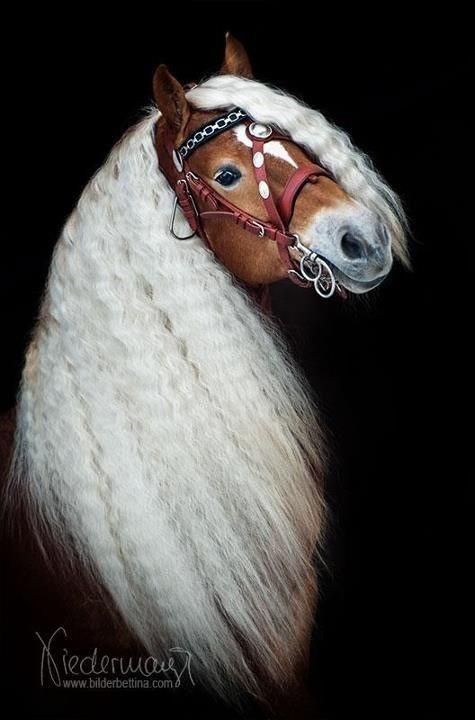 Außergewöhnlicher Haflinger horse