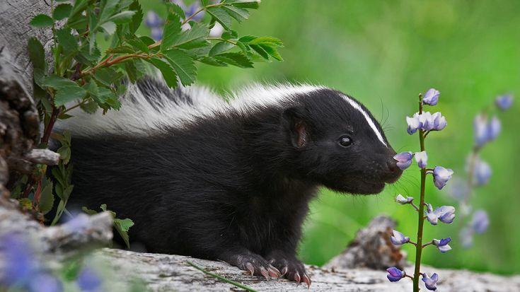 Striped Skunk Kit Smelling A Wildflower (© Tim Fitzharris/Minden Pictures)