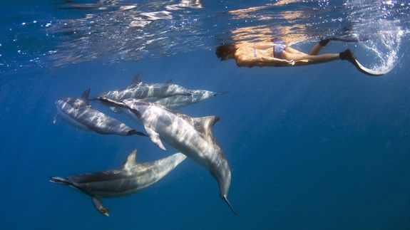 Dolphins in Hawaii could get more protection from swimmers and tourists http://ift.tt/1LgFmXq  WAIANAE Hawaii  Allison Alterman likes to swim in the ocean for exercise near her home on Hawaiis Big Island. Sometimes her swimming group will see spinner dolphins gliding or jumping near their course.  If the dolphins stick around tour boats will inevitably show up sometimes 20 at a time all dropping passengers with floaties in the water for a swim. For many its a chance to realize a long-held…