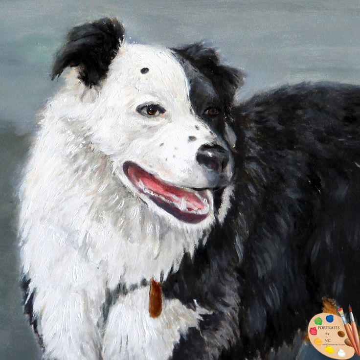 Australian Border Collie Dog Portrait 165
