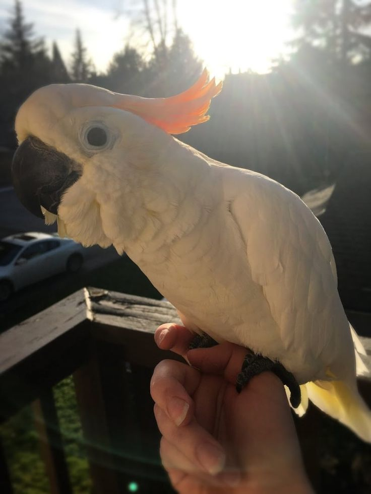 """""""I adopted Baby a little over eight months ago, and I'm still so thankful for her every day. She's a very cute, very sassy citron cockatoo. She's around 30 to 40 years old, and is missing a few toes and the second half of her wings (born without the toes, but her wings were cut at the bone early on in her life, sadly). She is a professional at cheering me up, and is always ready to cuddle, kiss, show off, or chat. I've never met a sweeter bird, and she makes going through depression…"""