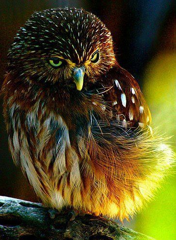 Show your kiddo's this view of a real Pygmy owl! Oh the colors!