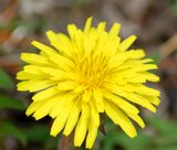 Dandelion: wild food or weed? -- http://landscaping.about.com/od/weedsdiseases/a/kill_dandelions.htm
