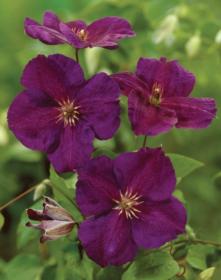 476 best images about my clematis h e aven on pinterest gardens plants and edinburgh. Black Bedroom Furniture Sets. Home Design Ideas