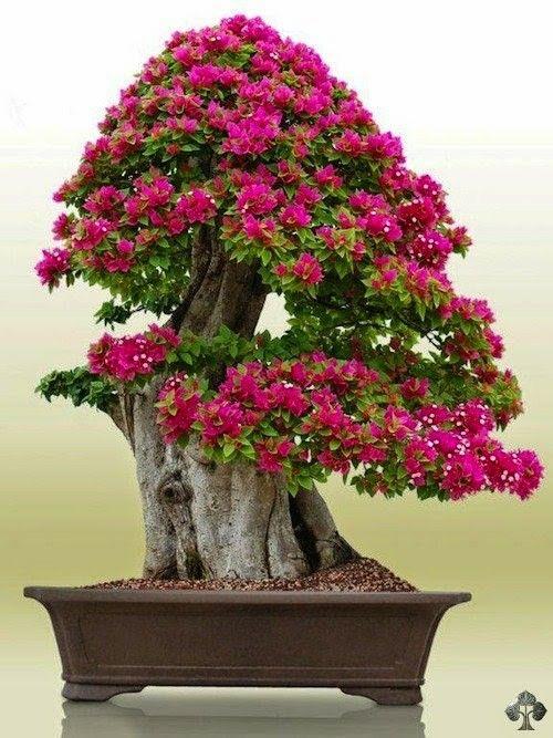 17 mejores im genes sobre bonsai con flores y frutos en - Libros sobre bonsai ...
