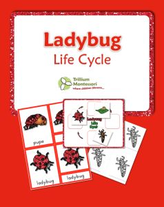 Life Cycle of a Ladybug or Ladybird- 3 Part Cards and Life Cycle chart with color illustrations and blacklines too.  {FREE}
