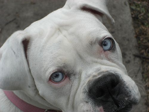 17 Best images about White boxers with blue eyes on ...