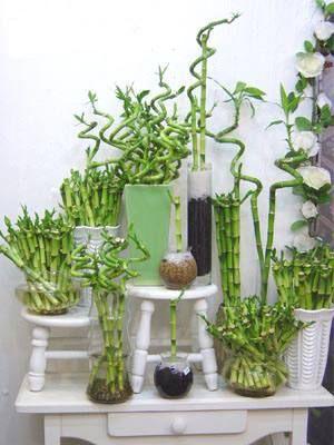 Además de ser una bonita planta para decorar el interior es original... vamos a cultivar bambú...