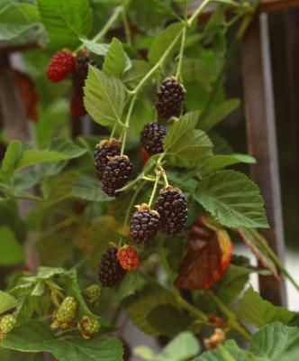The Best Companion Plants for Blackberries...  As with taller herbs, ground covers can serve several functions. Some ground cover options: Mint, lemon balm, strawberries.