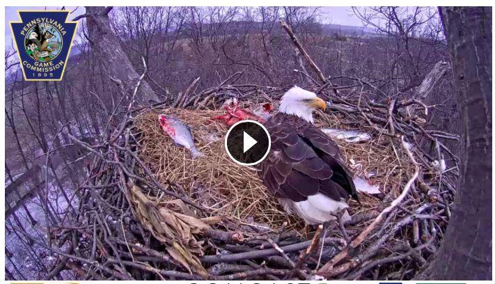 Live Eagle Cam PA Game Commission
