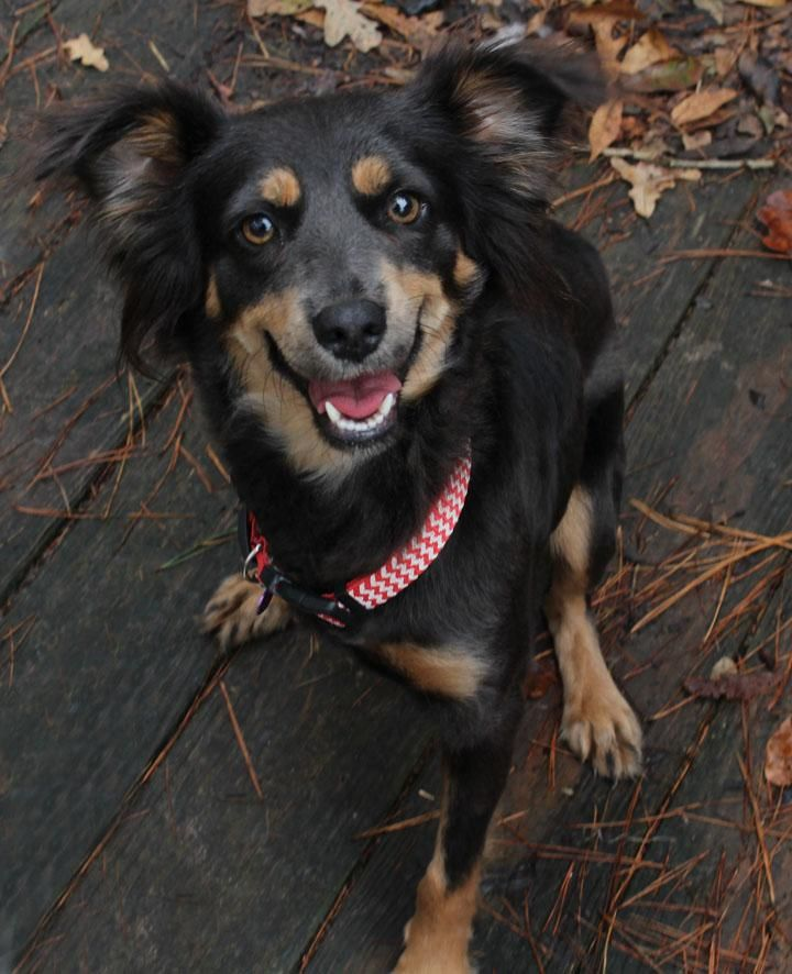 Hope is an adoptable Spaniel searching for a forever family near Cypress, TX. Use Petfinder to find adoptable pets in your area.