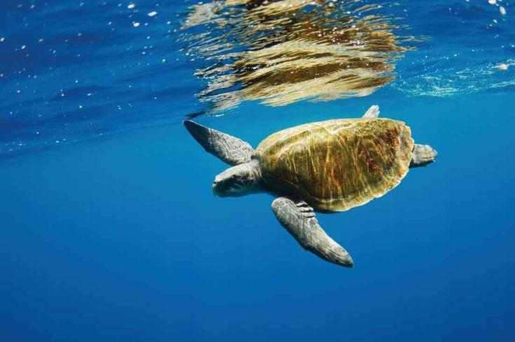 Preserving the golden generations! #vivantabytaj #vivanta #FishermansCove #Chennai #sea #turtles #nature #explore #conservation #ocean #OliveRidleyTurtles