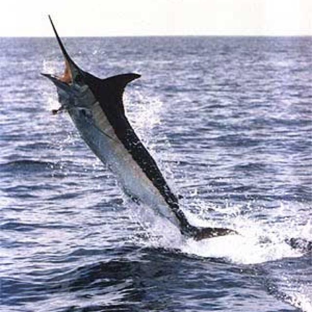 Go marlin fishing