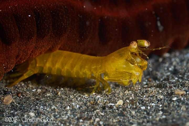 CRUSTACEA - tamarutaca (ordem Stomatopoda)