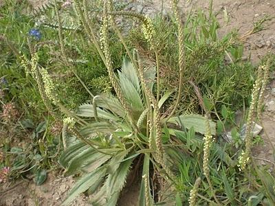 Plantas e Flores do Areal - Endemismos de Portugal: PLANTAGO - género botânico