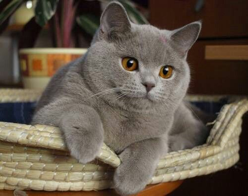 Hasil gambar untuk british shorthair cat pinterest