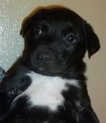Herbie is an adoptable Border Collie Dog in Thayne, WY. Herbie is about 7 weeks old. He is Borde collie mix. Cute little guy that is brother to Hershey, Hal, Harvey and Henry. The 5 'H' Puppies. T...