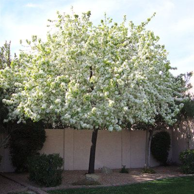 Idea for our Landscaping: Flowering Pear Tree...backyard, back right corner