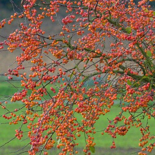 Small Ornamental Trees Nc