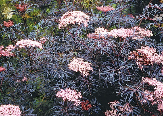 Black Lace' elderberry (Sambucus nigra 'Black Lace')    'Black Lace' quickly grows into a shrub 6 feet tall and wide.    Produces lemon-scented, 6-inch-diameter pink flower clusters in spring and bunches of blackish red berries in summer. The real eye-catcher is the fern-like, lacey black foliage. The rich, chocolate color holds throughout the summer.    Black Lace gives a striking appearance when grown as a specimen shrub in the landscape, but the berries are attractive to birds, making it…