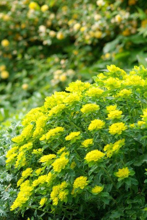 Kultatyräkki (Euphorbia polychroma )