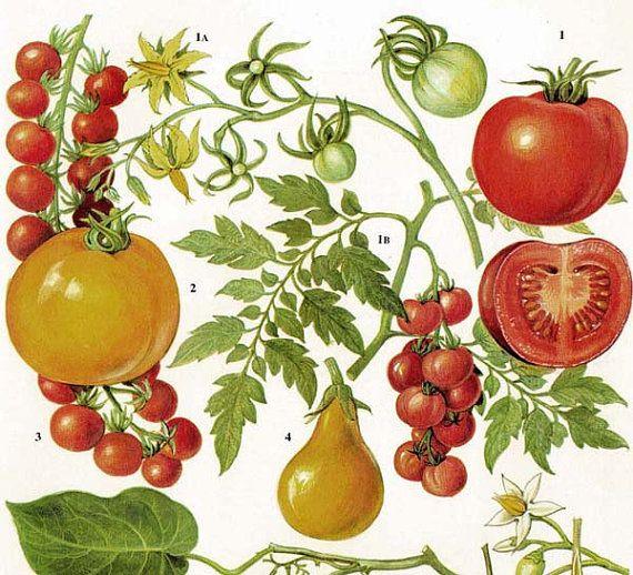 Tomatoes Fruit & Flowers Food Chart Vegetable Botanical ...