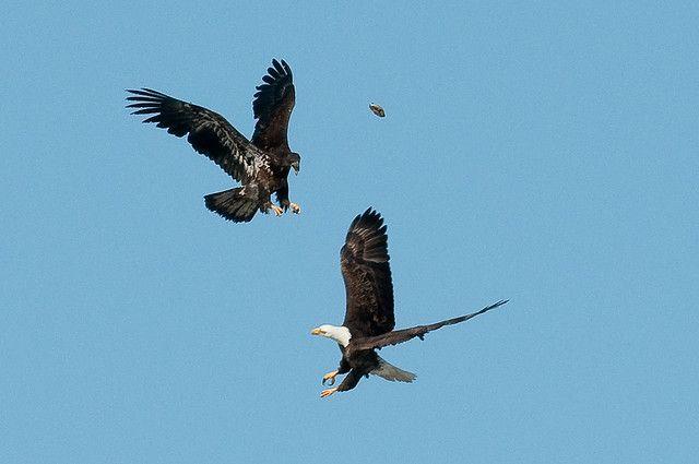 Adult and Immature Bald Eagle with Small Turtle | por jpaton1963