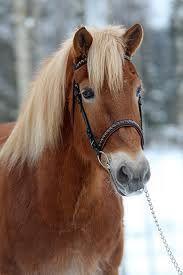 Haluan oman Suomenhevosen.