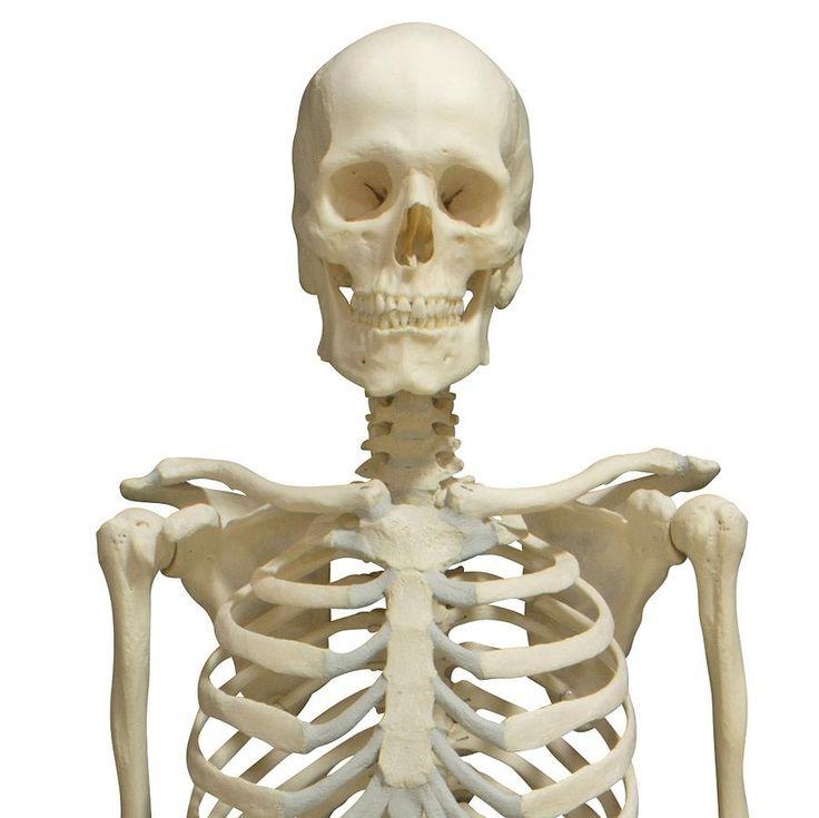 19 best Skull and Bones images on Pinterest | Anatomie, Menschliche ...
