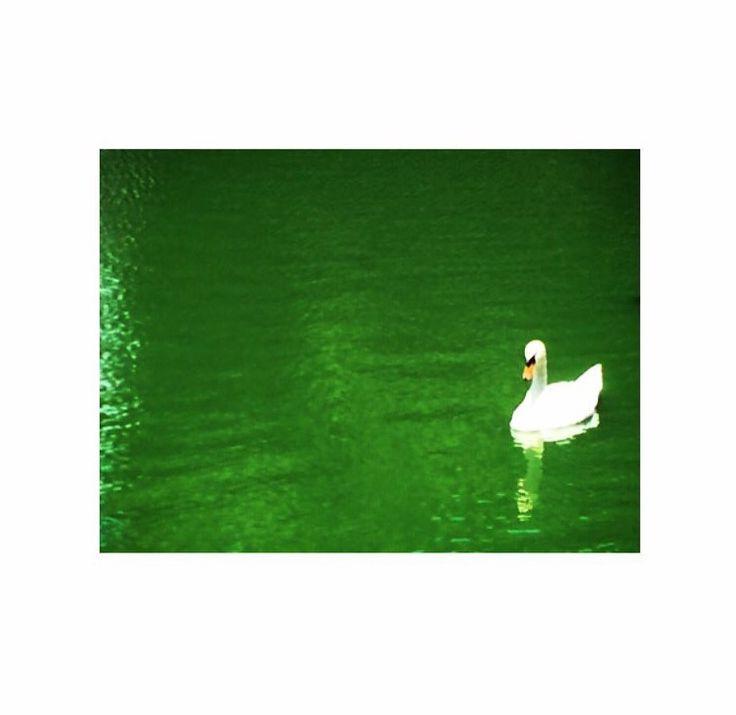#green #lake #swan