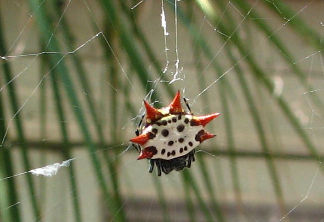 Native Texas Spiders www.spiderzrule.com | Spidery ...