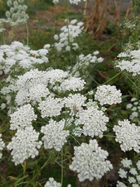Bishops Flower ( Ammi majus ) -  a lovely self seeding annual with elegant height and crisp white umbrella of blossoms. Happy in gardens with good or impoverished soils.