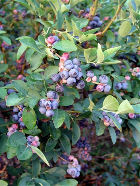 Vaccinium corymbosum (Northern Highbush Blueberry   © Felder Rushing