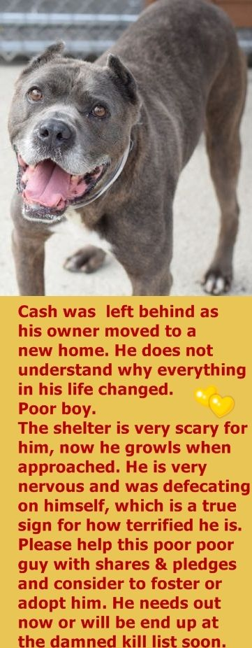 SUPER URGENT Brooklyn Center CASH – A0857628  NEUTERED MALE, GR BRINDLE / WHITE, CANE CORSO, 8 yrs OWNER SUR – EVALUATE, HOLD RELEASED Reason MOVE2PRIVA Intake condition EXAM REQ Intake Date 07/06/2016 http://nycdogs.urgentpodr.org/cash-a0857628/