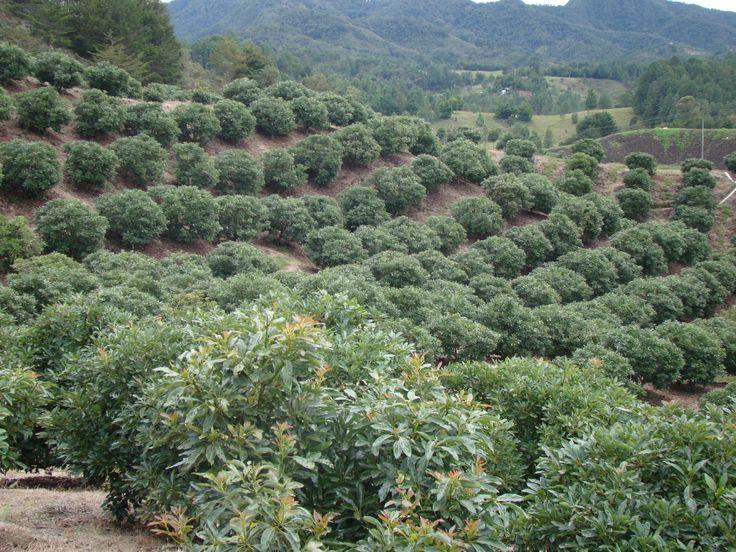 Cultivo de Aguacate Hass El Retiro Antioquia COLOMBIA