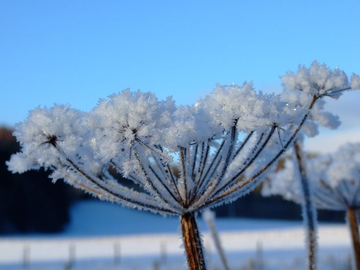 https://flic.kr/p/9ptNMR   FREEZING, on blue.   freezing snow crystals. on roadside cow parsley, (anthriscus sylvestris) also known here as wild fennel, down at murtholm farm. langholm, dumfriesshire, scotland.