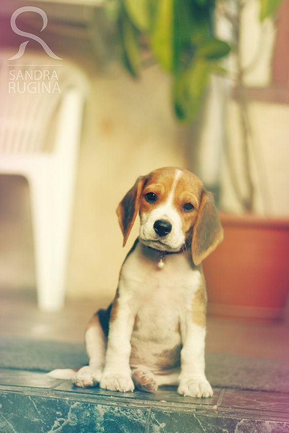 Photo print of a small cute Beagle puppy by behindmyblueeyes, $5.00